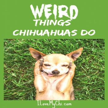 Chihuahuas are an interesting breed of dog it is with loads of personality and they have their funn