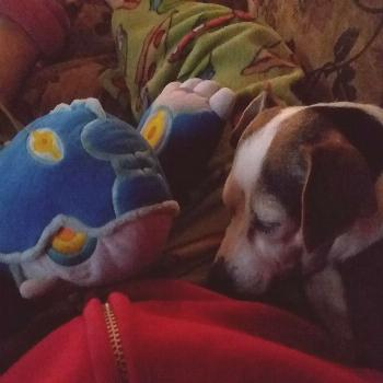 Cocoa the snuggle pup.WE LOVE SNUGGLE PUPS! THANK YOU FOR YOUR SUBMISSION! -