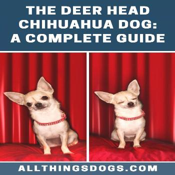 Deer Head Chihuahua Dog With the personality and temperament of a big dog trapped in a small body,