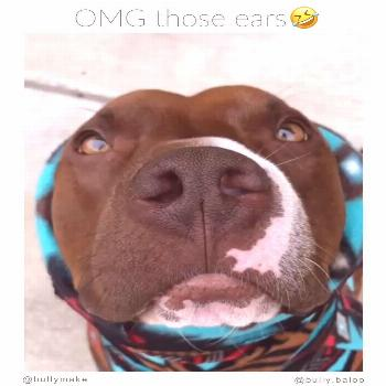 Pitbull Mix Has the BEST Ears - Pitbull Mix Has the BEST Ears    Turn your sound on ? via: Diane