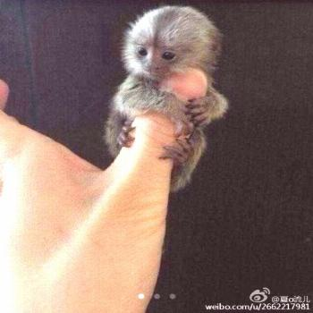 Thumb sized monkeys are Chinas new must-have pet